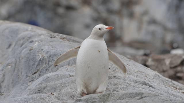 Na otočju Galapagos pronađen je  rijetki potpuno bijeli pingvin