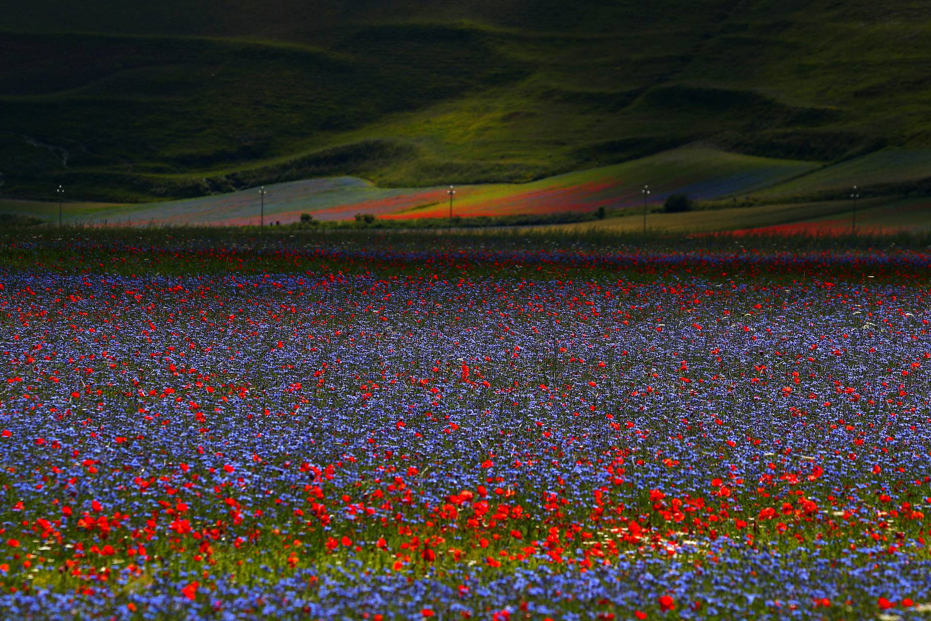 A view of fields of flowers is seen during the annual blossom in Castelluccio