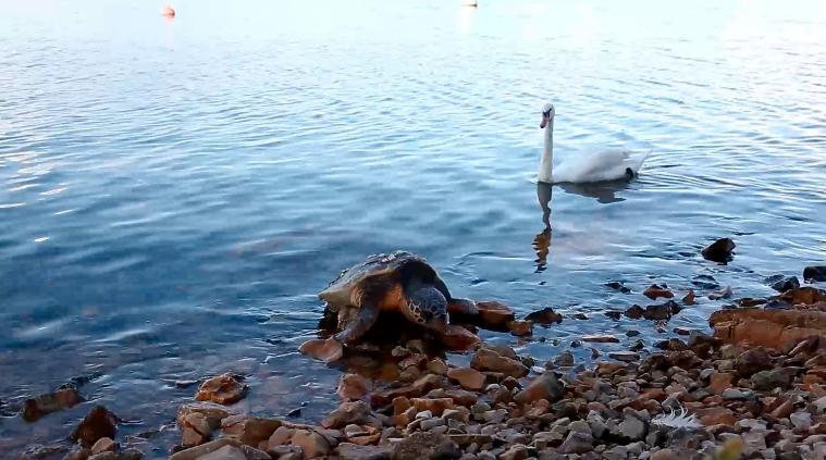 More izbacilo uginulu zaštićenu kornjaču na plaži kod Šibenika