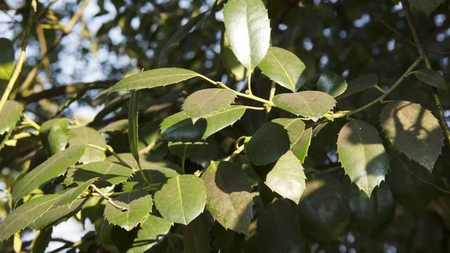 Drvo kamfora: Eterično ulje pomaže kod bolova, ali u većim količinama može biti otrovan