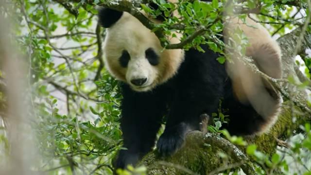 Kineski filmaši snimili parenje pandi u divljini i to po prvi put