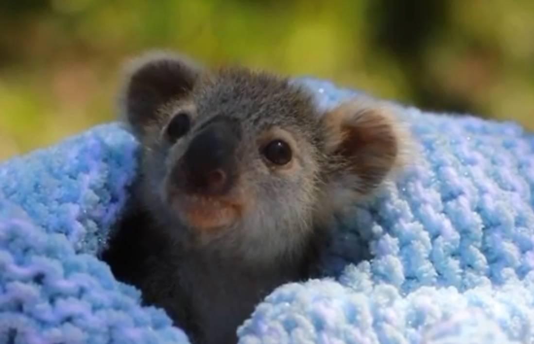 Donirat će polovinu plaće za pomoć australskim životinjama