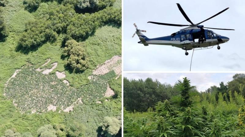 Na adi rijeke Mure našli polje marihuane od 2 milijuna eura