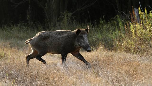 Bez dozvolenoću lovio divlje svinje u Benkovcu, priveli ga