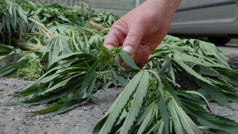 Granična policija je u Grudama pronašla plantažu marihuane