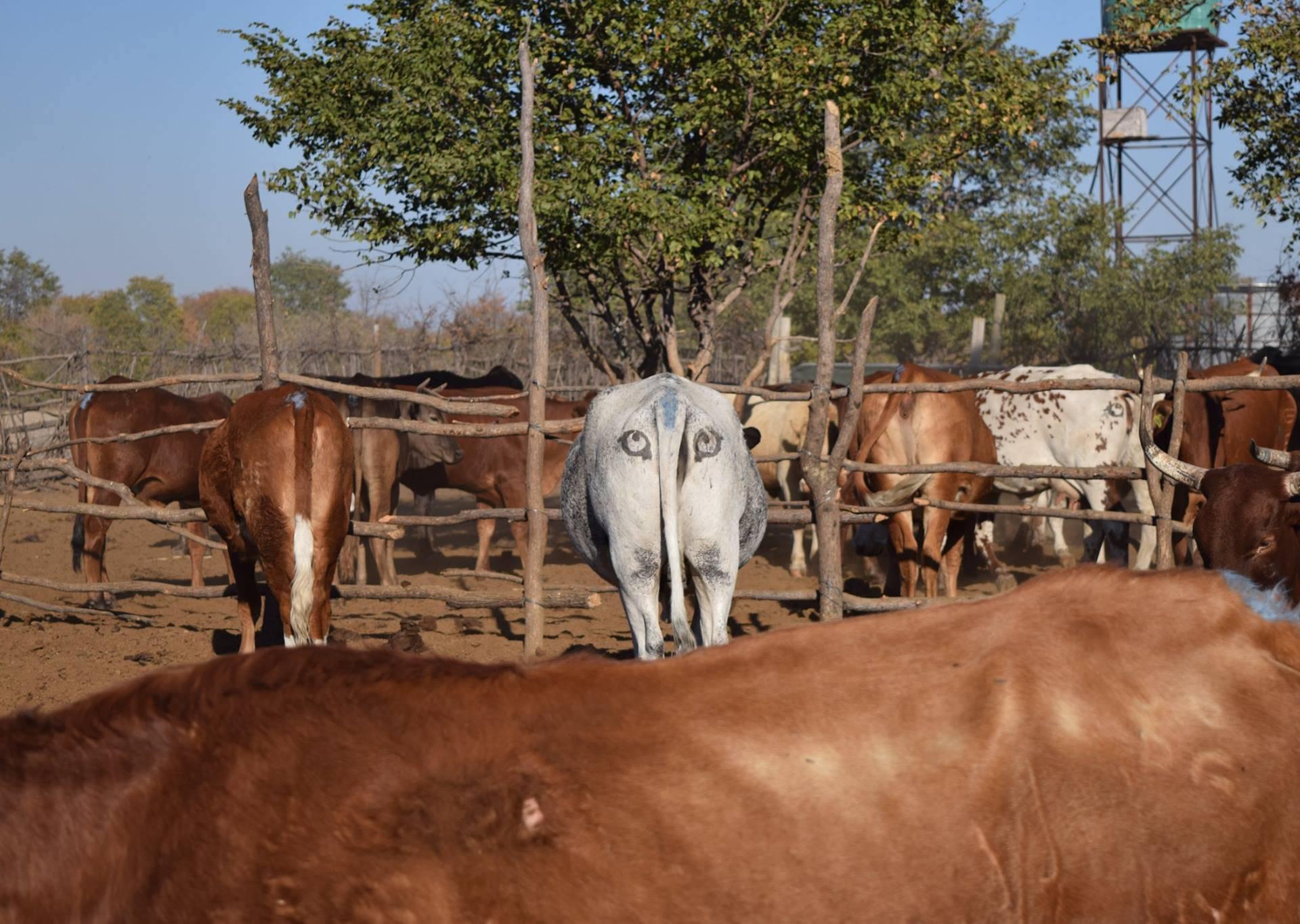 Oni crtaju oči na stražnjicama krava: Tako ih štite od lavova?