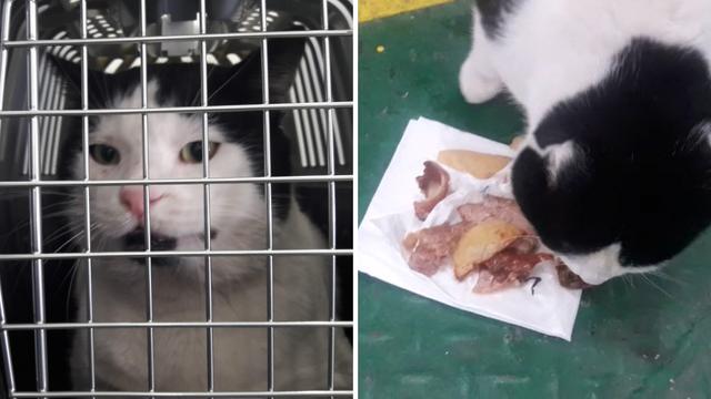 Lučki se vraća kući: Mačak je dobio i ručak na trajektu za Vis