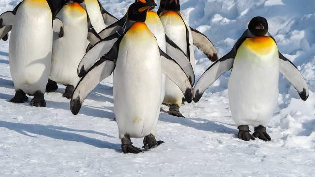 Uginula najstarija ženka kraljevskog pingvina Oma
