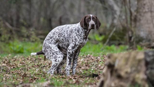 Zašto se psi toliko vrte u krug prije obavljanja velike nužde?