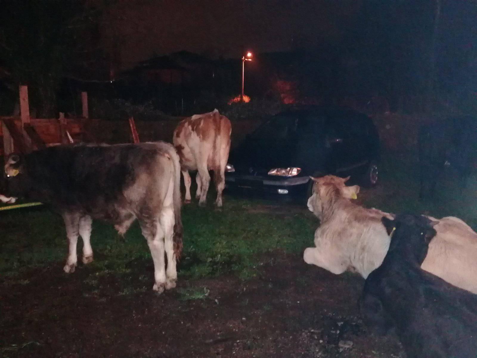 Krave muuuuu ušle u dvorište: 'Probudim se, a njih 11 leži...'