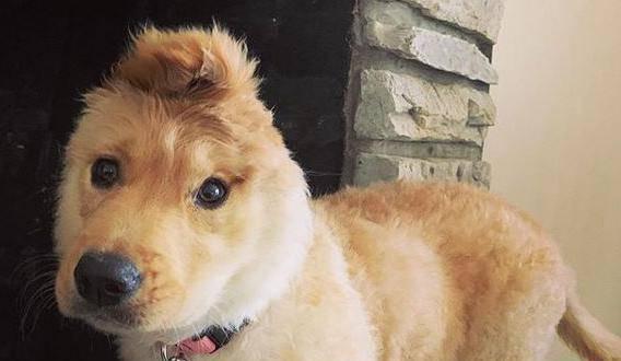 Štene zlatnog retrivera ima jedno uho i sad je kao jednorog