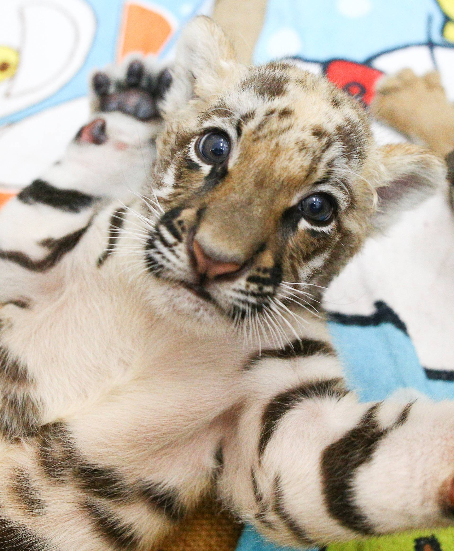 Tiger cubs are pictured at Sriracha Tiger Zoo in Chonburi province
