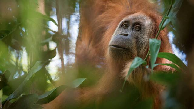 Handout photo of Pongo tapanuliensis, identified as a new species of orangutan is shown, found on the Indonesian island of Sumatra where a small population inhabit its Batag Toru forest