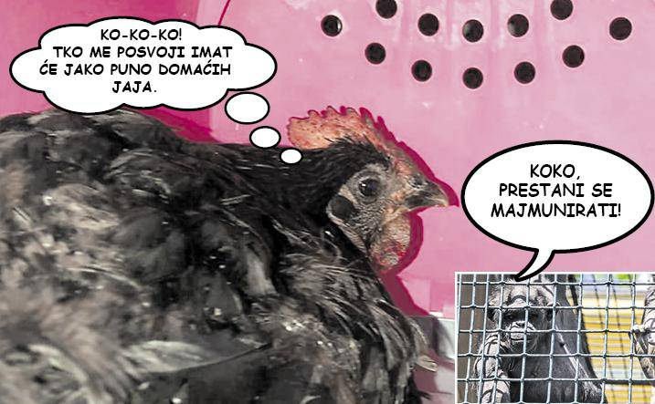 Spasili nesretnu kokoš: Odveli je na antistres terapiju u ZOO