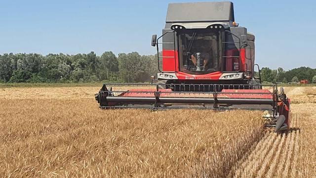 Durum pšenica otkupljuje se po dvostruko većim cijenama od obične pšenice