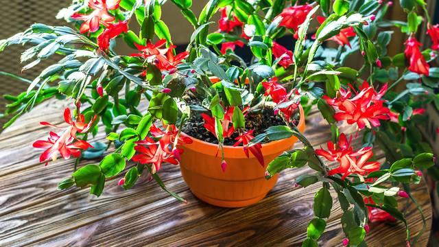 Jednom na tjedan zalijeva se božićni kaktus, a on najbolje uspijeva u istočnom dijelu doma