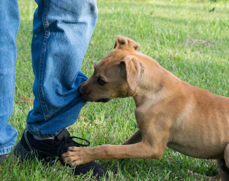 Vaš umiljati psić više ne sluša i prkosi  vam? U pubertetu je!