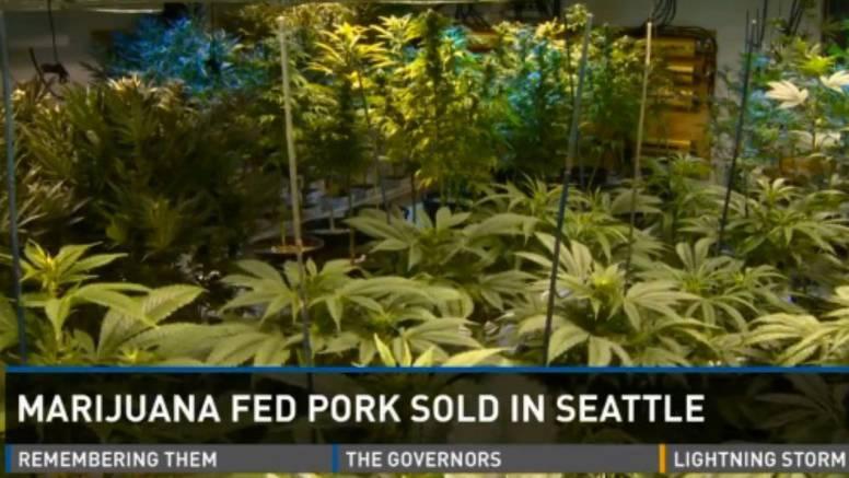 Svinje su hranili marihuanom: Mesnica je u trenu sve prodala