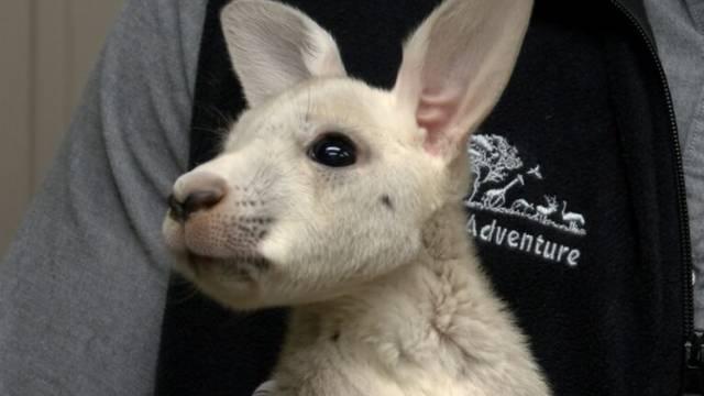U njujorškom zoološkom vrtu na svijet došao rijetki bijeli klokan