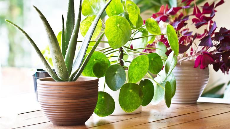 Neka uistinu ožive: Sobne biljke također treba gnojiti, evo kako