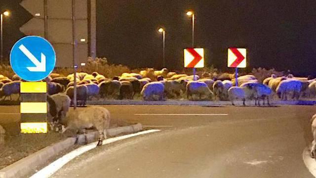 Pustite meeee: Ovce kod IKEE idu u šoping, a pastira nigdje...