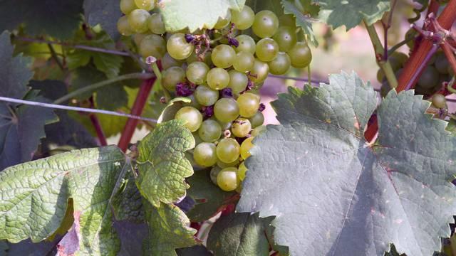Moslavački vinogradi