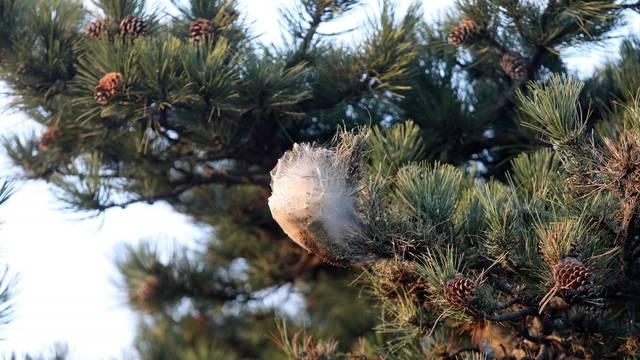 Rijeka: Gnijezda borovog prelca
