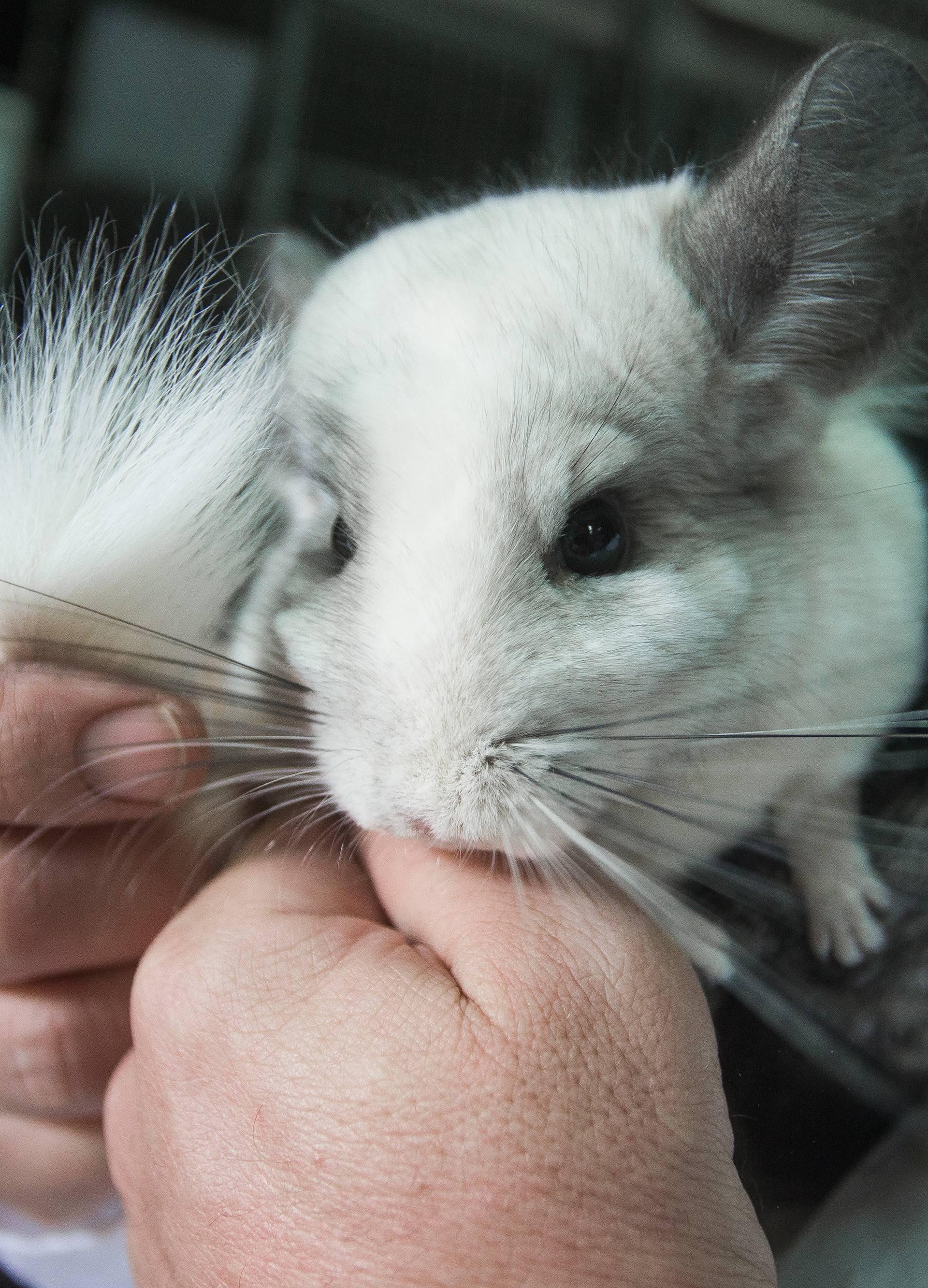 Spas činčila: Zabranjen uzgoj životinja zbog krzna u Srbiji