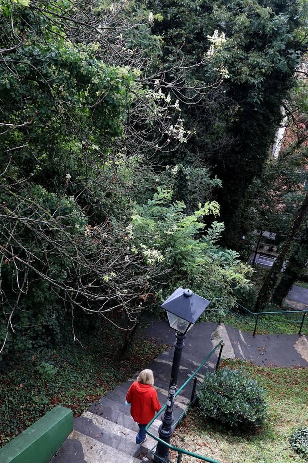 Zagreb: Na Gornjem gradu u listopadu drugi put ove godine procvali kesteni