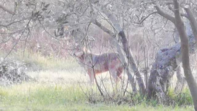 Grdosina u zadarskom zaleđu, mještanin snimio vuka? 'Prešao je cestu kraj dječjeg igrališta'