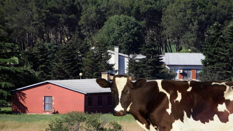 Zatvorska krava zbog teleta glavom nokautirala veterinarku