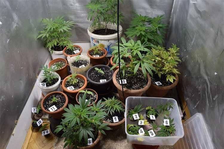 U stanu uzgajao marihuanu, oduzeli mu više od 2 kilograma