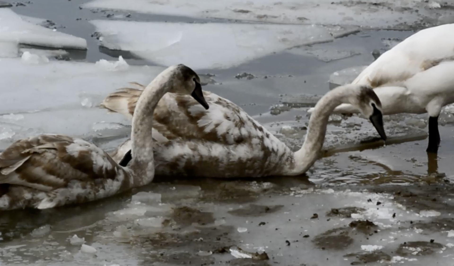 Potvrđeno: Ptičja gripa 'ubila' osam labudova kod Koprivnice