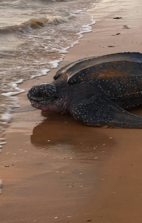 Na pustim plažama na Floridi i Tajlandu sve više ima kornjača