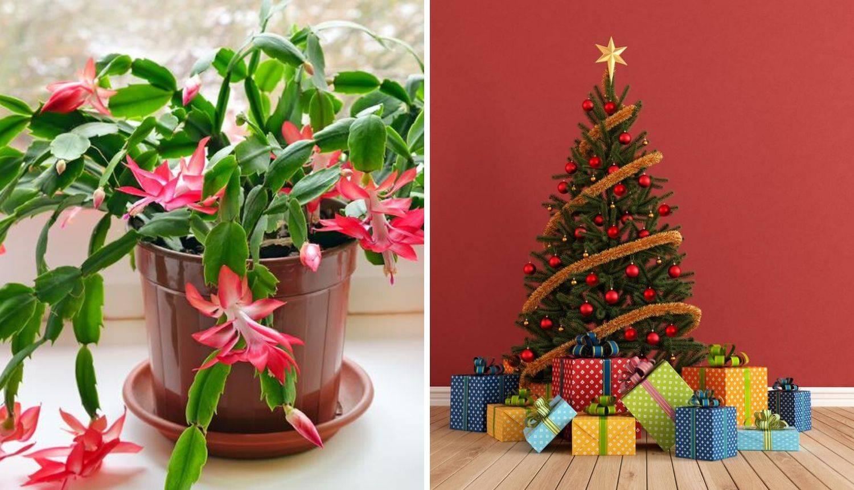 7 razloga zašto je bolje imati božićni kaktus - umjesto jelke