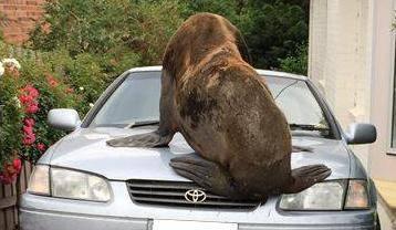 Lutao je gradom: Halo policija, ogromni tuljan sjedi mi na autu