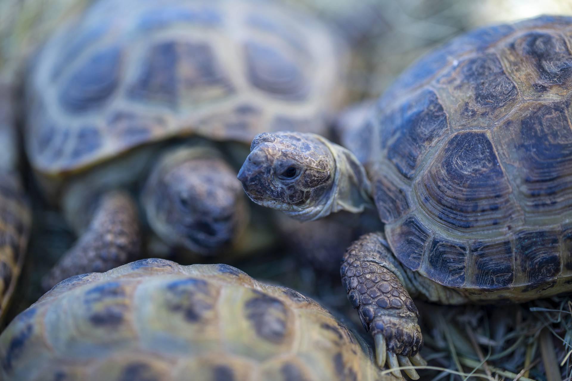 Bebe kornjače pojavile su se na Galapagosu nakon 100 godina