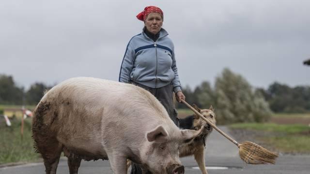 "Pig ""Berta"" on Sunday walk"
