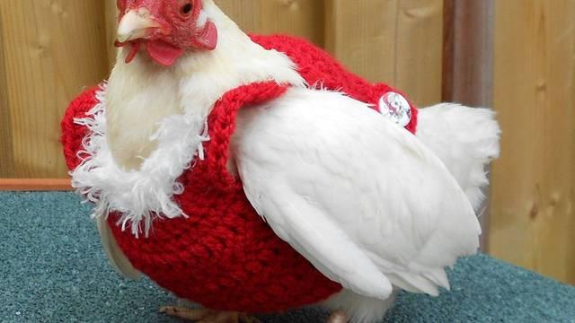 Uzbuna u kokošinjcu: Prodaju božićne džempere - za kokoši