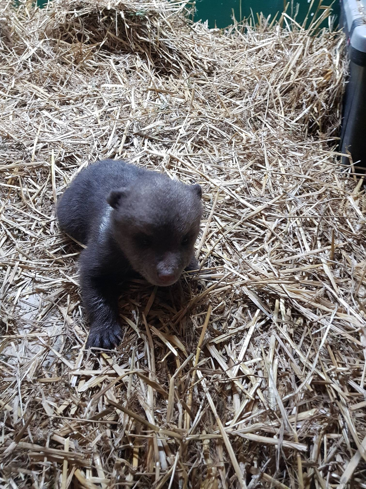 Više se kreće: Medvjedić Matija dobio veći prostor u ZOO-u