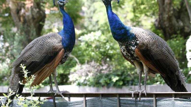 Zbog prekrasnog repa paun je nacionalna ptica Indije