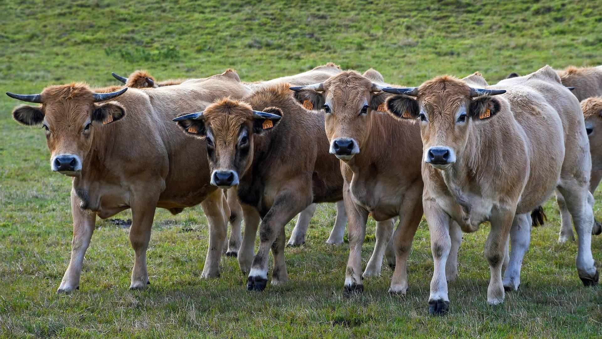 Uzgoj stoke uništio je čak 70 posto svih svjetskih prašuma