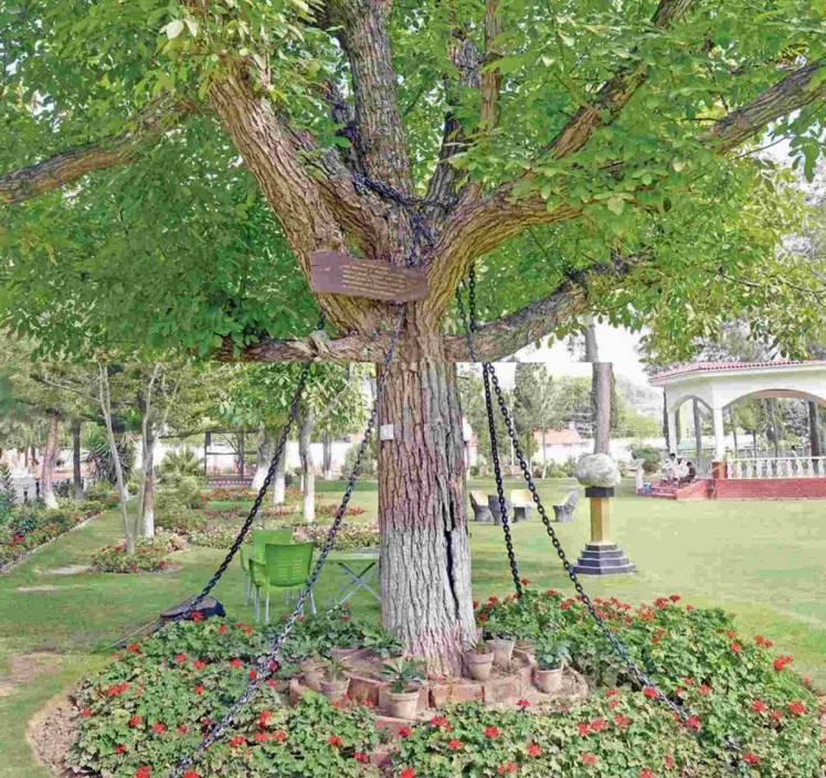 Britanski je vojnik 1898. uhitio drvo koje je i dalje - u okovima