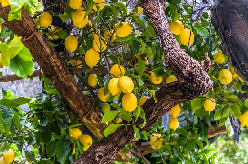 Kako posaditi stablo limuna: U nekoliko  jednostavnih koraka