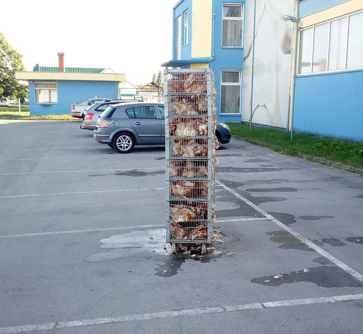 Bizaran prizor u Virovitici: Iz kamiona mu ispale žive kokoši