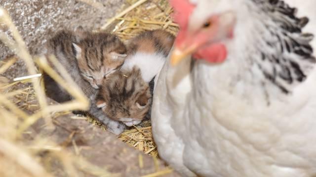 Prava obitelj: Maca čuva piliće, a koka pazi na njene mačiće