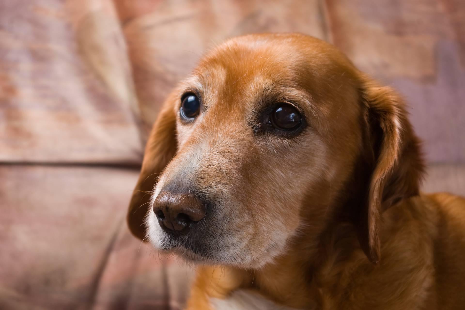 Korona zbunjuje i pse: Jesu li vlasnici sad stalno doma ili ne?