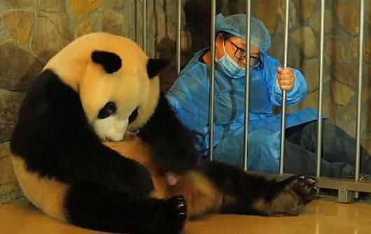 Snimka poroda preslatke pande obišla je i oduševila cijeli svijet