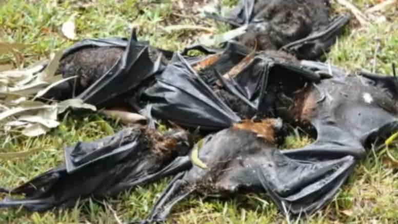 Zbog velikih vrućina šišmiši se skuhali u zraku i pali na zemlju
