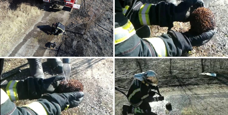 Bodlje mu bile spaljene: Spasili  ježa koji nije uspio pobjeći vatri